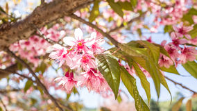 Sakura Beautiful Flower Image libre de droits