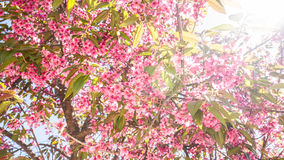 Sakura Beautiful Flower Stock Photography