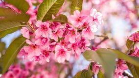 Sakura Beautiful Flower Royalty Free Stock Photo