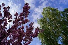 Sakura, berk, blauwe hemel en witte wolken royalty-vrije stock fotografie