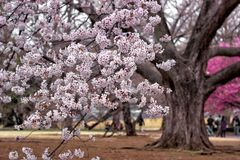 Sakura bianco fotografie stock