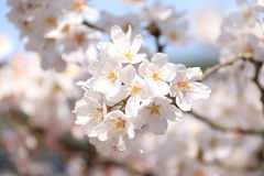 sakura biel Zdjęcie Royalty Free