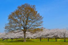 Sakura and the big tree stock image