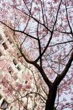 Sakura-Blüte lizenzfreies stockfoto