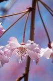 Sakura-Blüten stockbilder