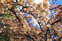 Sakura blanco Imágenes de archivo libres de regalías