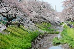 sakura blisko Tokyo obraz royalty free