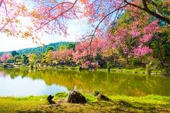Sakura bloeit bloeiende bloesem in Chiang Mai, Thailand Stock Foto's