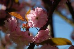 Sakura blom royaltyfria foton