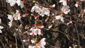 Sakura blomma lager videofilmer