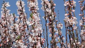Sakura blomma arkivfilmer