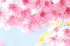 Sakura blomma Arkivbilder