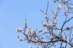 Sakura blomma för körsbärsröd blomning med blå himmel i Tokyo, Japan Arkivbilder