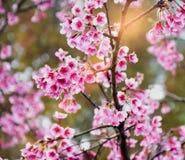 Sakura blomma i trädgård arkivbild