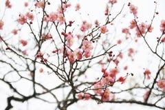 Sakura (blomma och blommaknopp) Royaltyfri Foto