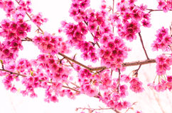 Sakura blomma på vit bakgrund Arkivbild