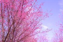 Sakura blomma, rosa sherryblomningblomma Fotografering för Bildbyråer