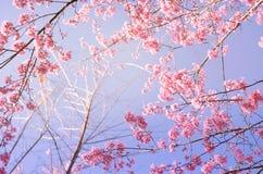 Sakura blomma, rosa sherryblomningblomma Arkivfoto