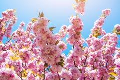 Sakura blommande träd i vår Arkivfoto