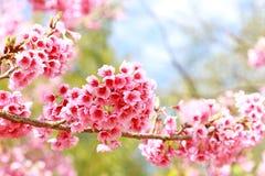 Sakura blommar att blomma arkivbilder