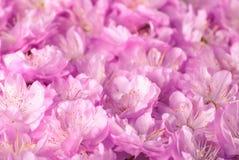 Sakura blommar background_6 royaltyfri fotografi