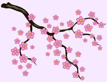 Sakura blommar bakgrund Arkivbilder