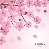 Sakura blommar bakgrund japansk sakura för Cherry tree Arkivfoton