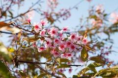 Sakura blommar den blommande blomningen i det PhuLomLo Loei landskapet som är thailändskt fotografering för bildbyråer