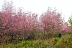 Sakura blommar den blommande blomningen i det PhuLomLo Loei landskapet som är thailändskt royaltyfria bilder