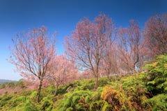 Sakura blommar den blommande blomningen i det PhuLomLo Loei landskapet som är thailändskt arkivbild