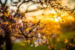 Sakura blommar på solnedgången Royaltyfri Bild