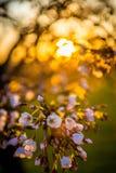 Sakura blommar på solnedgången Royaltyfri Fotografi