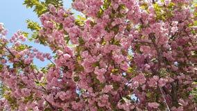 Sakura blommar rosa blommor arkivfilmer