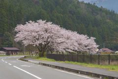 Sakura blommaträd Arkivfoton