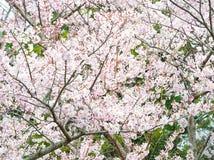 Sakura blommaträdgård på den Jeju ön Arkivfoton