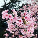 Sakura blommor royaltyfria foton