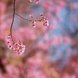 Sakura blommor Royaltyfria Bilder