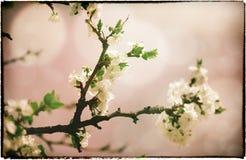 Sakura blommor. Arkivbild