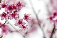 Sakura blommor Arkivbilder