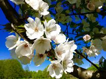 Sakura blommor Fotografering för Bildbyråer