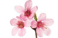 Sakura blommor Arkivfoton