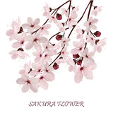 Sakura blommor Royaltyfri Foto