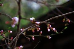 Sakura blommor Arkivbild