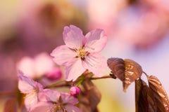 Sakura blommor Royaltyfri Fotografi