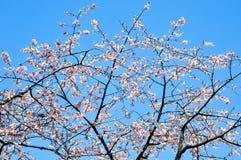 Sakura blommor blomstrar på bakgrund för blå himmel i Japan arkivbilder