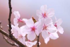 Sakura blomning Royaltyfria Bilder