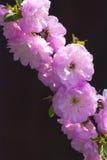 Sakura blomning background_4 Arkivbilder