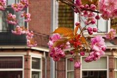 Sakura blomning i europeisk stadsgata Arkivbild