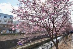Sakura blomning i Japan arkivbild