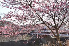 Sakura blomning i Japan royaltyfria foton